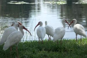 hesaraghatta ake_birds (3)